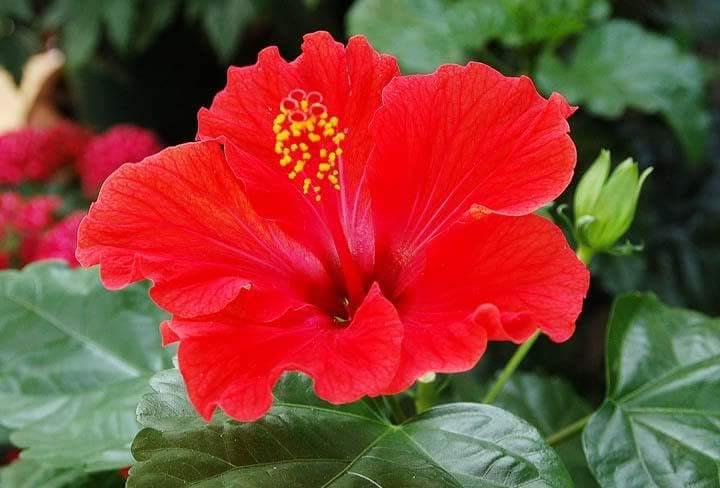 تعرفوا الى زهرة الكركدية وفوائدها do.php?img=45248