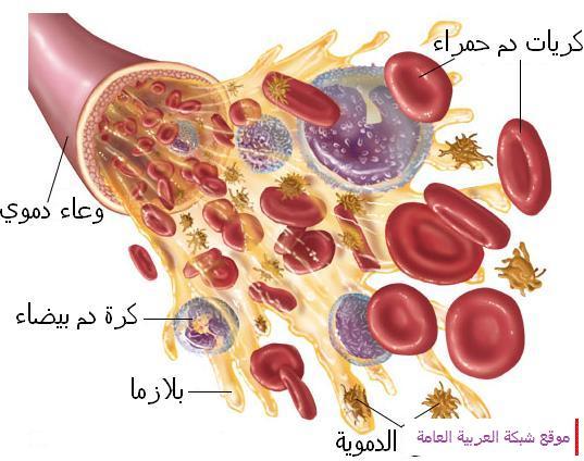 الدورة الدموية 13567163356.jpg