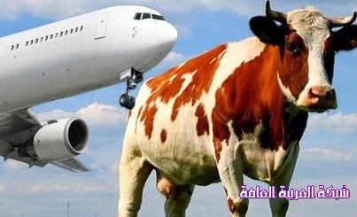 طائرة تدهس بقرة 13762102751.jpg