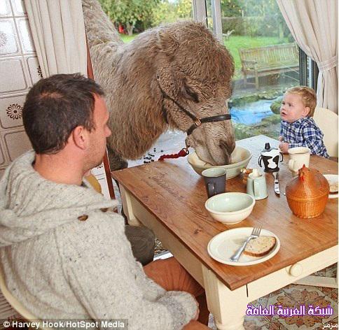 جمل أسترالي يصر على تناول طعامه مع أسرة صاحب المزرعة 1386406215831.jpg
