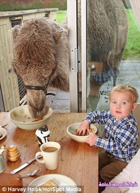 جمل أسترالي يصر على تناول طعامه مع أسرة صاحب المزرعة 1386406216092.jpg