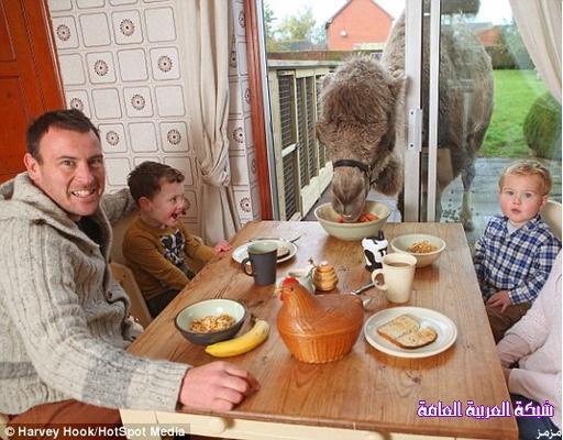 جمل أسترالي يصر على تناول طعامه مع أسرة صاحب المزرعة 1386406216293.jpg