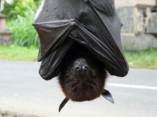 اكبر انواع الخفافيش حجما الثعلب الطائر الذهبي العملاق 1389440097333.jpg