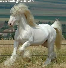 تاريخ السلالة العربية للخيول الاصيلة 1392855199531.jpg