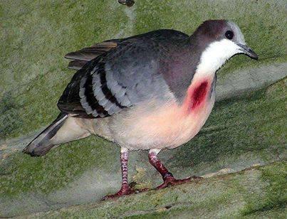 طيور اللوزون ذوي القلوب النازفة 1392856308321.jpg