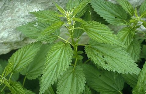 دكتور لوسمحت القرص عنة هلا موسمها بالربيع عشبة برية بقولو فوائدها كتيرة وخصوصي للمفاص 1395438327691.jpg