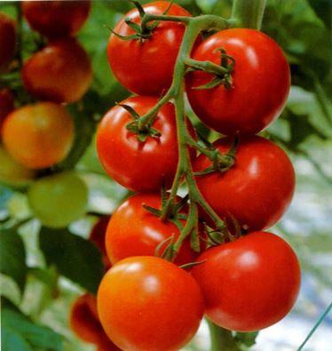 هل يمكن أكل الطماطم على أنها فاكهة قبل الحليب؟ 139715059911.jpg