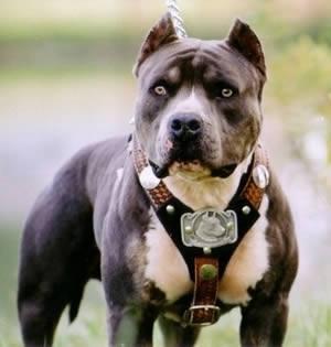 الكلب Pitbulls من أخطر الكلاب في العالم 1397312835961.jpg