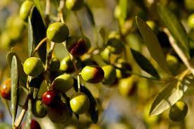 زيت الزيتون ...أسرار وفوائد ....صبغ للآكلين 1397825056561.jpg
