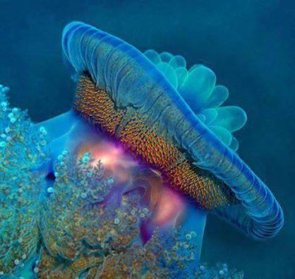 """قنديل البحر """"برنيس"""" , البحر الاحمر , , 1397825147781.jpg"""