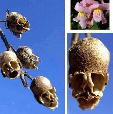 نبتة أنف العجل أو Antirrhinum 1398158456721.jpg