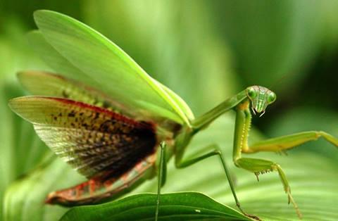 أنثى حشرة السرعوف (فرس النبي)، 1400082842971.jpg