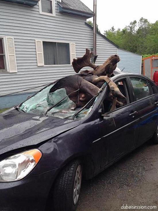 صور | سيارة تصدم حيوان الموظ فكانت هذه النتيجة المروّعة ... 140528808071.jpg