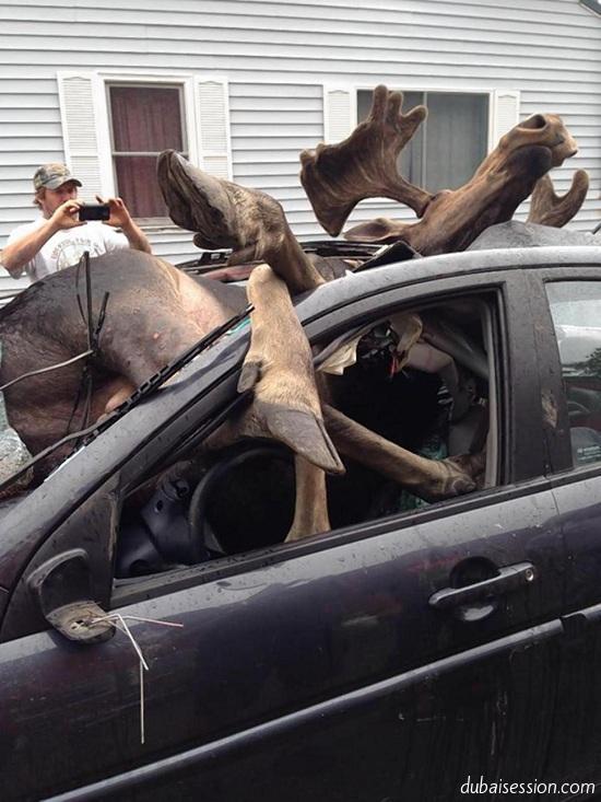 صور | سيارة تصدم حيوان الموظ فكانت هذه النتيجة المروّعة ... 1405288133021.jpg