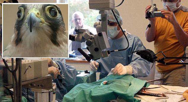 أول عملية زراعة عدسات لصقر مصاب بضعف البصر 141352681591.jpg