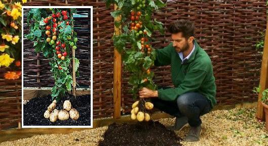 """""""تومتيتو"""".. نبات ينتج الطماطم والبطاطا في آن واحد 1415877167031.jpg"""
