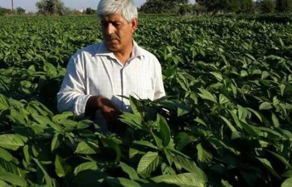 سوريّ يدخل زراعة الملوخية إلى تركيا 143921497821.jpg